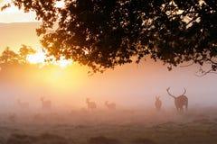Kontur av för Cervuselaphus för röda hjortar som fullvuxna hankronhjorten samlas kvinnlig Arkivbilder