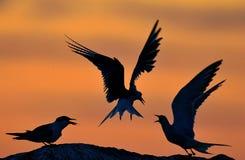 Kontur av gemensamma tärnor på röd solnedgångsolnedgånghimmel Den gemensamma tärnan (bröstbenhirundoen) i flykten på solnedgånggr Fotografering för Bildbyråer