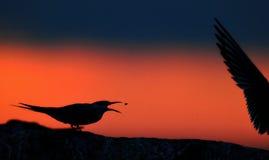 Kontur av gemensamma tärnor på röd solnedgångsolnedgånghimmel Den gemensamma tärnan (bröstbenhirundoen) i flykten på solnedgånggr Royaltyfri Fotografi