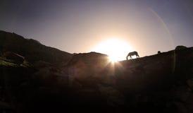 Kontur av hästen som betar på stenklippan på solnedgång, nordligt I Royaltyfria Foton