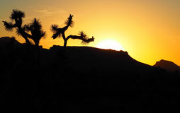 Kontur av Joshua Trees med knoppar på solnedgången Royaltyfri Bild