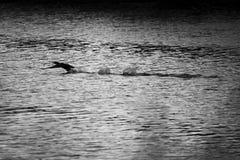 Kontur av kormoran i vatten svart white royaltyfri bild
