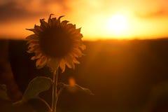 Kontur av solrosor i ett fält i eftermiddagen  Royaltyfri Bild
