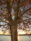 Kontur av sykomorträdet mot inställningssolen Royaltyfri Foto