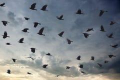 Kontur av täckande himmel för fågelflock på skymning royaltyfria bilder