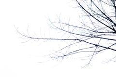 Kontur av torkade trädfilialer på himlen Royaltyfria Bilder