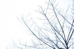 Kontur av torkade trädfilialer på himlen Royaltyfri Fotografi