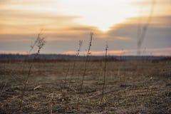 Kontur av torrt gräs i solnedgångljuset torkade blommor arkivfoto