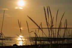 Kontur av torrt gräs på kusten i strålarna av solnedgången ?ron av havre royaltyfri bild