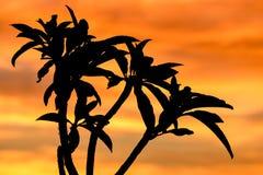 Kontur av trädet i Afrika på soluppgång eller solnedgången Arkivbild