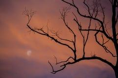 Kontur av trädfilialer med månen på skymning Arkivfoton