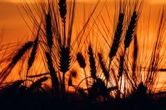 Kontur av veteöron i solnedgång Royaltyfri Fotografi