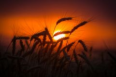 Kontur av veteöron mot solnedgång Royaltyfri Bild