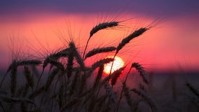 Kontur av veteöron mot solnedgång arkivfilmer