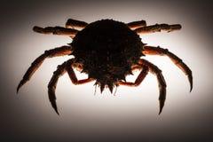 Kontur europeisk spindelkrabba, backlighting, stealth, forerun Arkivbild