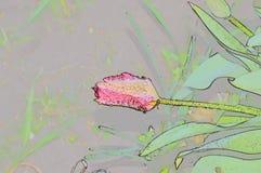 Kontur wody krople na pączkowym tulipanie Zdjęcia Royalty Free