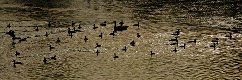 Konturer av änder och gåsen i vattnet arkivfoto