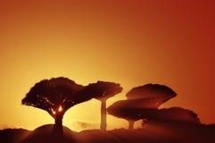 Konturer av fantastiska fantastiska draketräd på solnedgången Royaltyfri Foto
