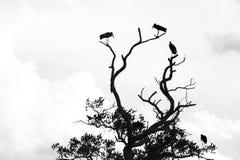 Konturer av storkar i ett träd arkivbilder