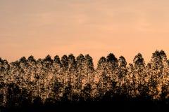 Kontureukalyptusträd på orange himmel i morgontid Arkivfoton