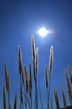 Konturgräspollen i solljus Royaltyfri Foto
