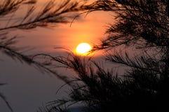 Konturn av sörjer trädet under solnedgång Royaltyfria Bilder