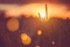 Konturn av veteöron och grässugrör på solnedgången tänder Tänd baksida för naturligt ljus Den härliga solen blossar bokeh framme Royaltyfri Fotografi