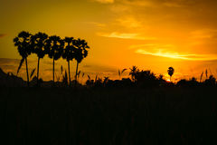 Kontursockerpalmträd Royaltyfri Foto