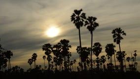 Konturtoddypalmträd på solnedgånghimmel i risfältfält arkivfilmer