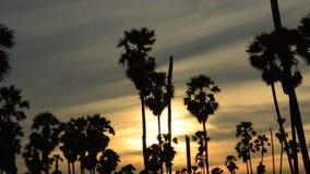 Konturtoddypalmträd på solnedgånghimmel i risfältfält lager videofilmer