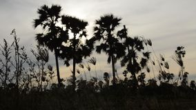 Konturtoddypalmträd på solnedgånghimmel i risfältfält stock video