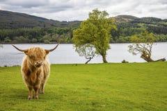 Konung av ängen - oerhört skotskt nötkreatur Royaltyfri Fotografi