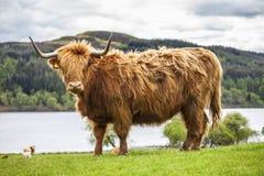 Konung av ängen - oerhört skotskt nötkreatur Royaltyfri Foto