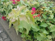 Konung av blomman Karen Royaltyfri Fotografi