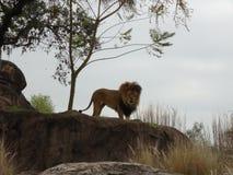 Konung av djungeln Royaltyfri Fotografi