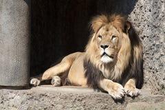 Konung av djungeln Royaltyfri Foto