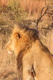 Konung av djungeln Arkivfoto