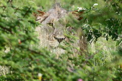 Konung av djungeln Royaltyfria Bilder
