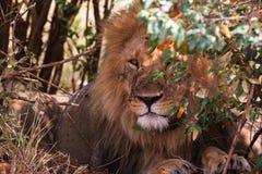 Konung av fän på vakten african lion Arkivfoto