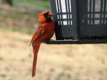 Konung Cardinal Arkivbild