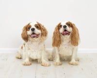 Konung Charles Spaniel Dogs Arkivbilder