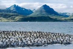Konung Cormorants On Ilha Dos Passaros Located på beaglekanalen, Tierra Del Fuego, Argentina Royaltyfri Bild