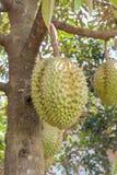 Konung för DurianDuriozibethinus av tropiska frukter som hänger på frunchträd Royaltyfri Foto