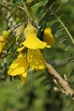 KONUNG för SOL för Sophoramicrophylla`` Hilsop ` Arkivfoton