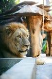 Konung-lejon Royaltyfria Bilder