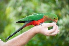 Konung-papegoja Royaltyfri Foto