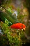 Konung Parrot fotografering för bildbyråer