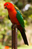 Konung Parrot arkivfoto