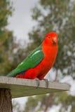 Konung Parrot i Drouin Victoria Australia Royaltyfria Foton