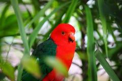 Konung Parrot som roosting i träd Arkivbild